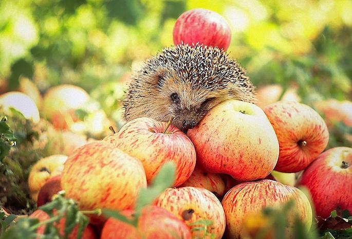 Картинки на рабочий стол яблоки осенью