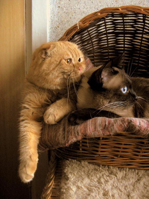 кошки, домашние любимцы