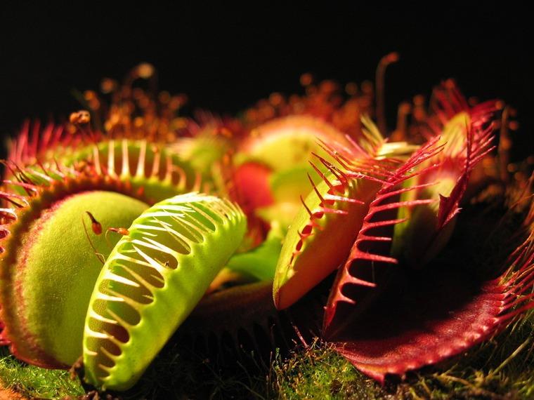 Нужна помощь зала: поделитесь информацией о венериной мухоловке 17