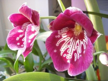 орхидея, притча, мильтония