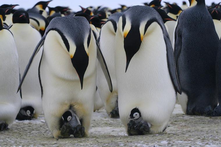воспитание пингвинят