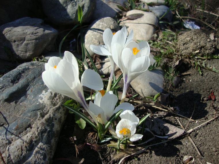 крокусы, первые цветы, весенние цветы