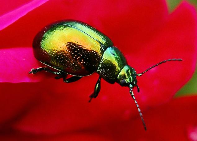 жуки красавцы