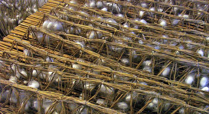 Выращивание тутового шелкопряда в россии 79