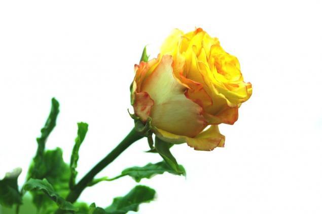 мак, как слепить тюльпан