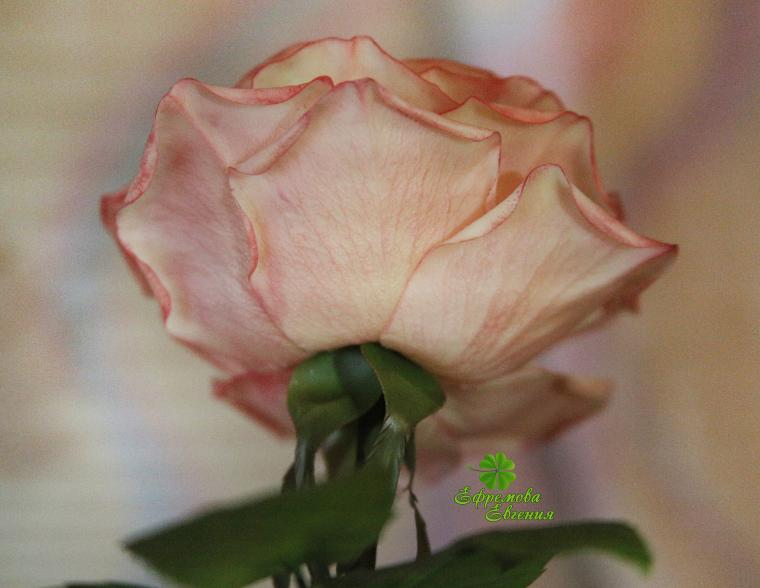 чайная роза, подарок девушке