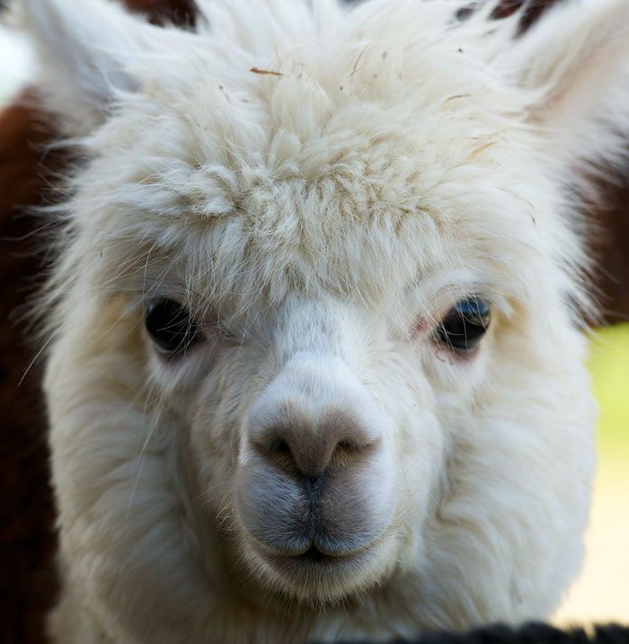cute animal alpaca essay Find great deals on ebay for cute alpaca shop with confidence.