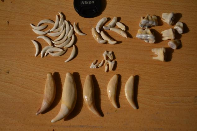 клыки, клык волка, клыки медведя, зубы рыси, зубы оленя, оберег, клыки лис, подарок, крупный волк клык