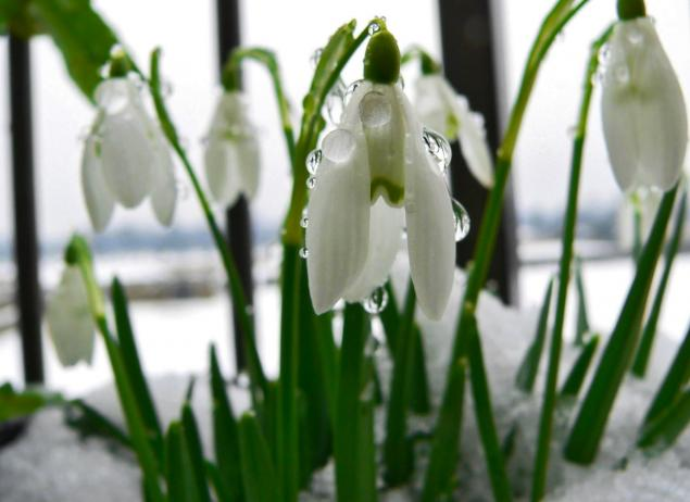 Подснежник - символ весны, надежды и чистоты!, фото № 2