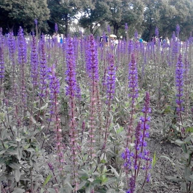 новость, лаванда в парках, москва, цветение лаванды, lavendershop