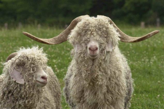 шерсть, пряжа для вязания, ангорская коза