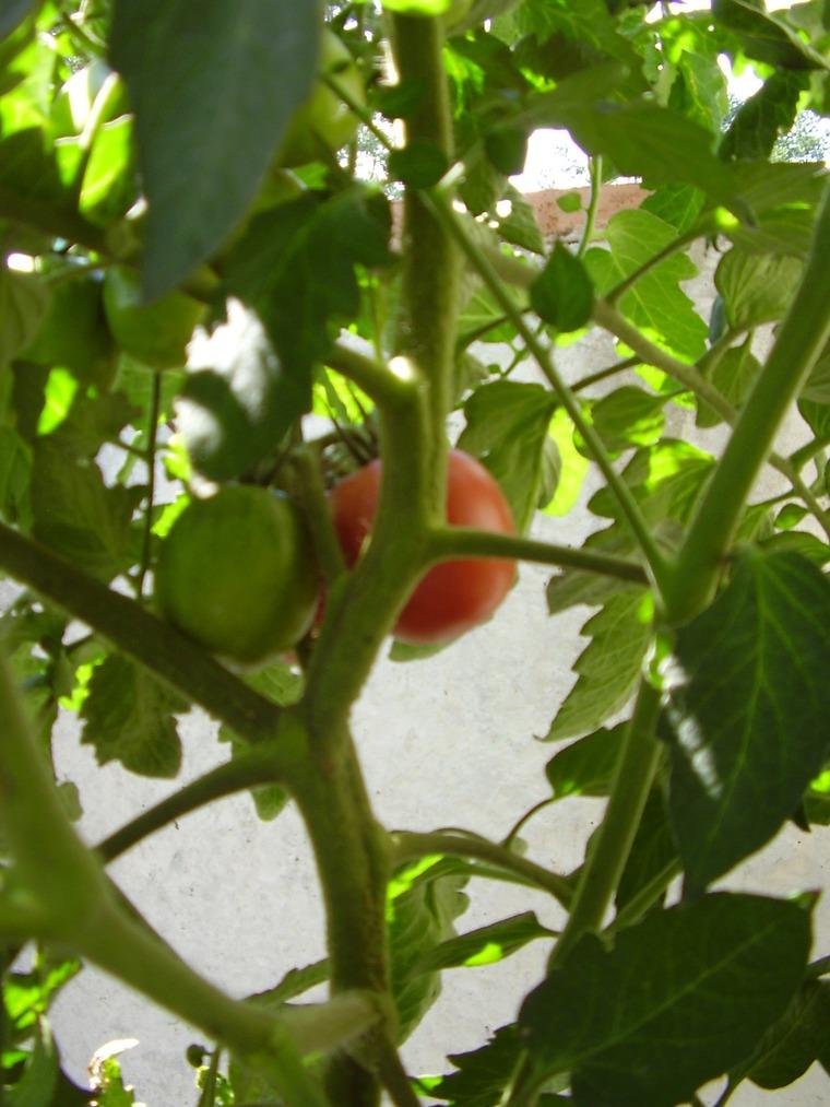 Помидоры Какие сорта можно выращивать на балконе?
