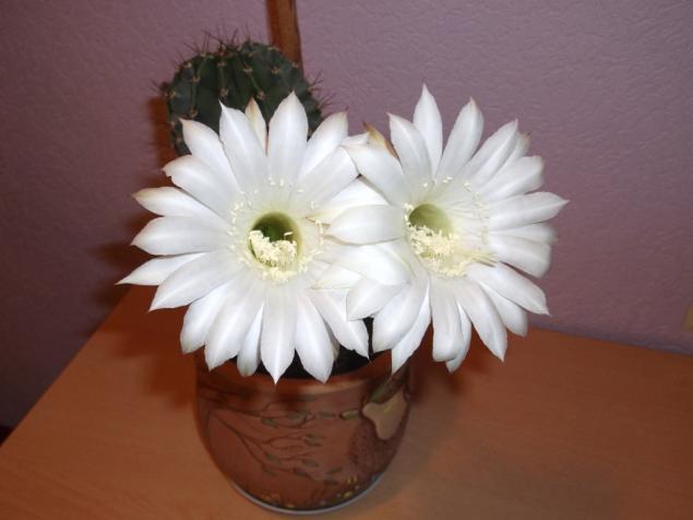 цветок кактуса, цветок