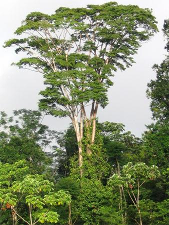 экзотические породы древа