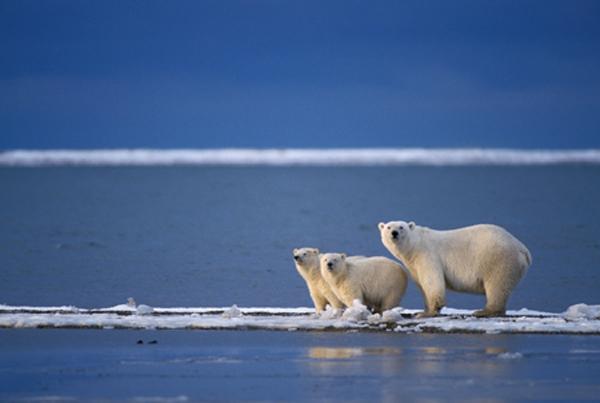 фото животные северного ледовитого океана
