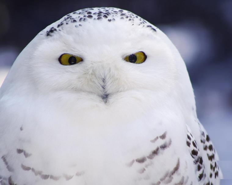 фото белой совы на аву обычно очень придирчив