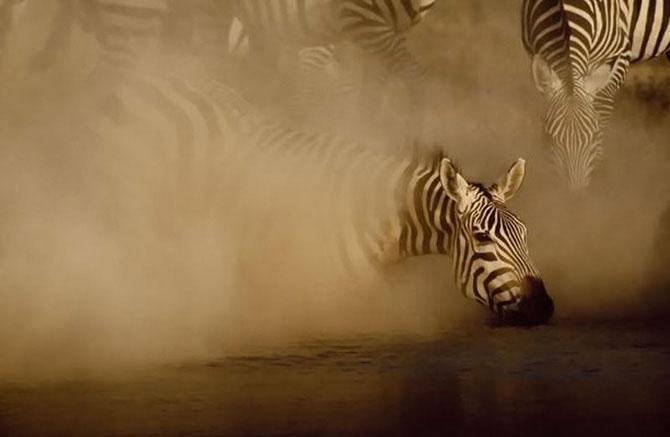 Зебра появляется из клуба пыли от стада зебр, приближающихся к воде.