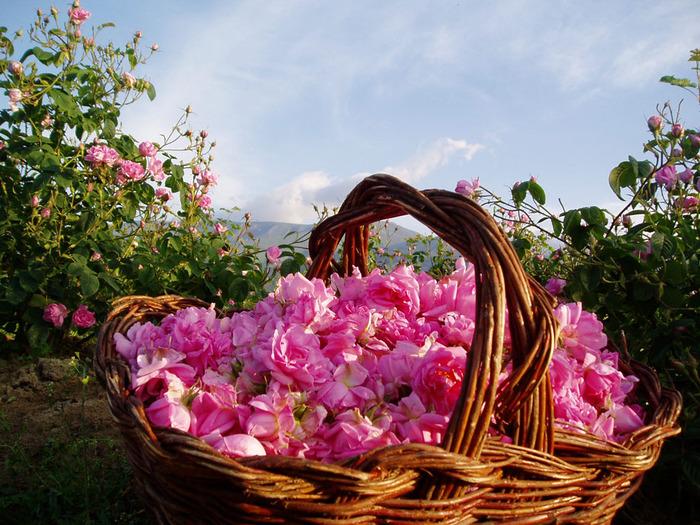 эфирное масло розы, омоложение