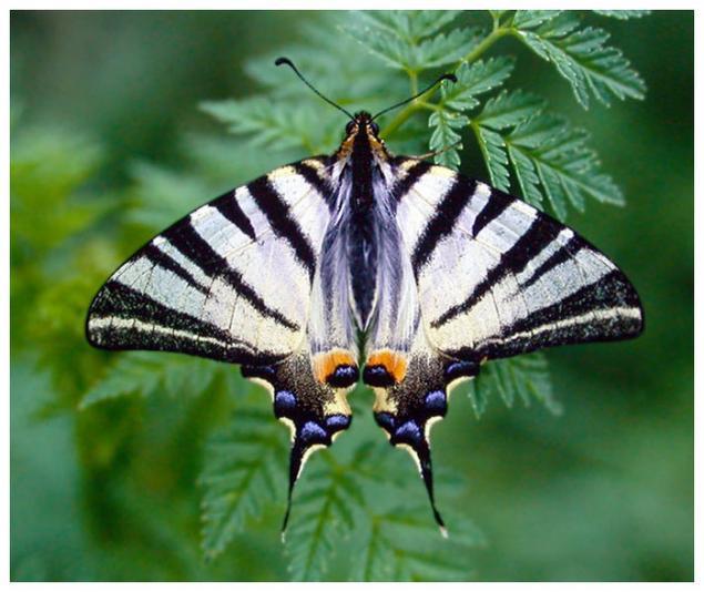 Из-за формы крыльев ее часто принимают за разновидность бабочки-кавалера